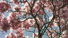 Pink spring blossom. Stock Footage