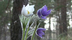Prairie anemone (Pulsatilla patens) flowers swaying in the wind in the spring fo Stock Footage