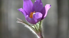 Prairie anemone (Pulsatilla patens) flower swaying in the wind with a zooming ou Stock Footage