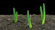 Stock Video Footage of Time-lapse of growing onion with alpha matte 4a