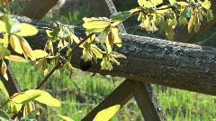 Bush honeysuckle. Stock Footage