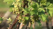 Stock Video Footage of Currant bush.