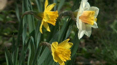 Daffodils. Stock Footage