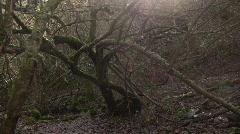 Twisted Tree - stock footage