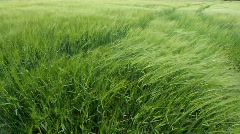 Wheat in the wind Stock Footage