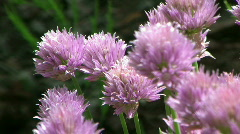 Flowering Chives in the Garden (with Audio) - stock footage