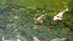 Koi carp Stock Footage