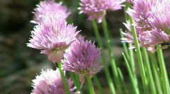 Flowering Chives in the Garden #2 (with Audio) - stock footage