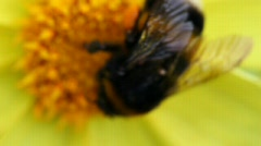 Bumblebee creeps to flower Stock Footage