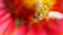 Approach to close up of  flower on which bee sat Stock Footage