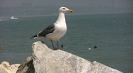 Stock Video Footage of Sea Gull at Malibu Beach
