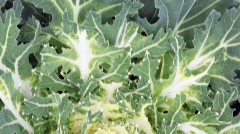 several heads of cabbage of different cabbage - stock footage