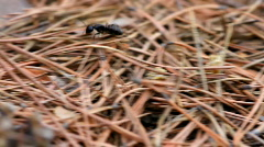 Fastest Ant in Autumn forest close-up Stock Footage