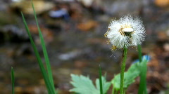 Dandelion close-up at forest Glade Forest Brook clean Stock Footage