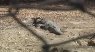 Stock Video Footage of Crocodile Basking in the Sun