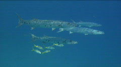 Stock Video Footage of Great Barracuda in the Florida Keys