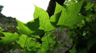 Green Leaves Blown by Wind Stock Footage