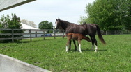 Stock Video Footage of Colt Grazing
