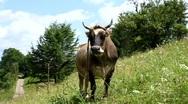 Milk cow Stock Footage