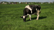 Stock Video Footage of Cow eat grass