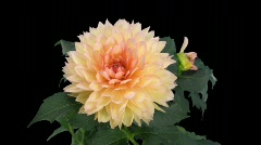 Time-lapse of dying pink yellow dahlia with alpha matte 3 (720p) Stock Footage