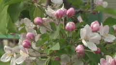 Apple flowering - stock footage