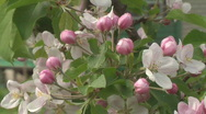 Stock Video Footage of Apple flowering