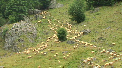 Shepherd leads the sheep on the mountain pastures Stock Footage