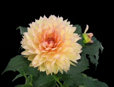 Stock Video Footage of Time-lapse blooming pink yellow dahlia with alpha matte 1b (Cinema 2K)