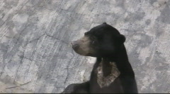 The Sun Bear Stock Footage