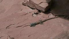 Collard lizard Stock Footage