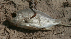 Dead fish Stock Footage