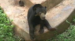 Sun Bear (6) Stock Footage