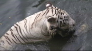 Stock Video Footage of The Bengala White Tiger (7)