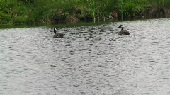 Duck on water(HD)  m Stock Footage
