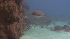 Nurse Shark Swimming Towards Camera Stock Footage