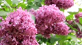 Aromatic lilac HD Footage