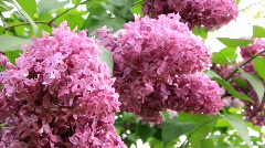 Aromatic lilac Stock Footage
