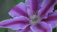 Clematis14 - stock footage