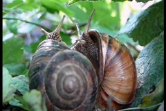 Two snail Stock Footage