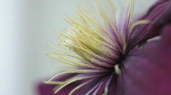 Clematis10 Stock Footage