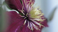 Stock Video Footage of Clematis09