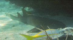 Resting Nurse Shark Stock Footage