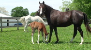 Stock Video Footage of Colt tries to nurse from mother