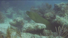 Curious Green Moray Eel Stock Footage