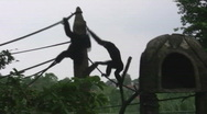 Stock Video Footage of Siamang Jump