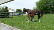 Stock Video Footage of Young Colt nurses from mare