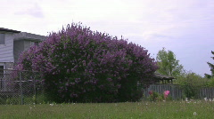 Big lilac bush along fence line zoom Stock Footage