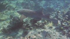 Swimming Nurse Shark Stock Footage