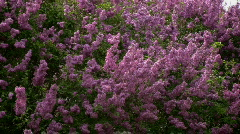 Closeup of waving lilac bush Stock Footage